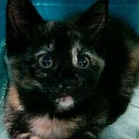 Shippenville, Pennsylvania - Domestic Shorthair. Meet Ivy, a for adoption. https://www.adoptapet.com/pet/19477582-shippenville-pennsylvania-cat