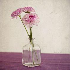 Margarita Crisantemo, via Flickr. Chrysanthemum, Color Rosa, Margarita, Glass Vase, Decor, Environment, Chrysanthemums, Bouquets, Flowers