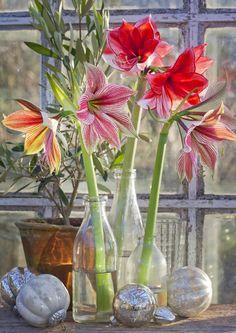 Amaryllis eli ritarinkukka on jouluasetelmien upeimpia kukkijoita. Poimi Viherpihan vinkit amarylliasetelmiin ja kokeile!