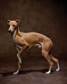Its short, glossy, soft coat is one of the simplest to groom. Italian greyhounds form strong bonds with their owners and like affection in return. Peaceful and gentle, this breed is easy to train and is great for small apartments, but needs a lot of exercise and playtime.