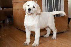 White Velvet Lab Puppy