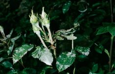 Mjöldagg – ett ovälkommet inslag i trädgården. Bra Hacks, Garden Weeds, Weed Killer, Bra Tips, Plant Leaves, Projects To Try, Herbs, Flowers, Plants