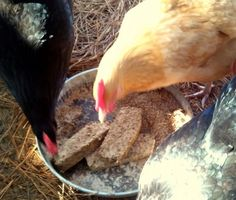 Recipe for a high protein loaf for molting chickens that will help with the regrowing of the feathers. I knew that hens usually stop laying during molt but