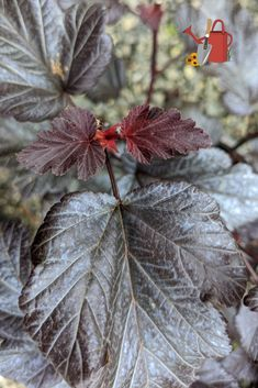 Physocarpus opoulifolius 'Ginger Wine'® - Fantastic native shrub. Spring foliage turning burgundy by fall, white flowers in spring. Disease resistant. Hardy zones 3-7.
