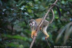 Mono ardilla común (Saimiri sciureus)-Fotógrafo: Rhett Butler Google+ , Mongabay.com fotografiado en: , Parque Nacional Amacayacu Colombia