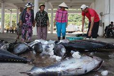 Cá ngừ đại dương chờ... nước sạch | Vietnam Aquaculture Network - Mạng Thủy sản Việt Nam
