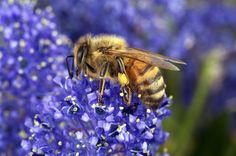 Varroa mite closer to entering the last healthy bee population in the world, Australia.