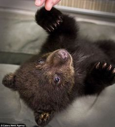 Warning: The Oregon Department of Fish and Wildlife urged people tempted to take a bear home with them not to do so