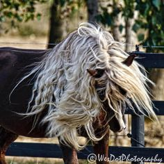 """That's going to take a lot of Mane & Tail! Photo by Celeste Huston: """"Our new Black Forest Stallion, Sir Dante!"""""""