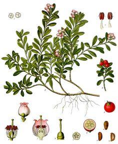 MBG Rare Books: Illustration of ARCTOSTAPHYLOS Uva ursi Sprengel. Common name(s): kinnikinnick, Scientific name: Arctostaphylos uva-ursi (L.