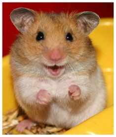 Easy Science for Kids All About Hamsters - Cute Little Animals. Learn more about Hamsters with our Online Science Facts for Kids on Hamsters! Smiling Animals, Happy Animals, Cute Funny Animals, Funny Animal Pictures, Cute Baby Animals, Funny Cute, Animals And Pets, Cute Pictures, Hilarious