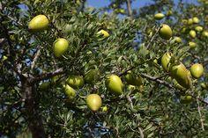 Propiedades y aplicaciones medicinales del aceite de Argán y cómo cultivarlo