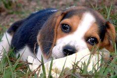 Valentin the Beagle