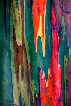 The unique multi-hued bark is the most distinctive feature of the tree. Patches of outer bark are shed annually at different times, showing a bright green inner bark. This then darkens and matures to give blue, purple, orange and then maroon tones