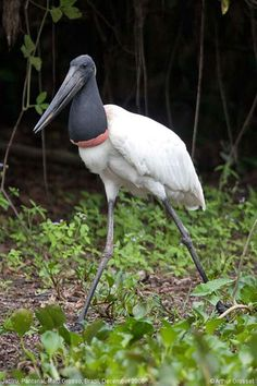 The Jabiru Stork is the tallest flying bird in South and Central America, growing up to 140cm (4.6 feet). They make huge nests out of sticks that they built upon every season. The nests can be several meters in diameter.