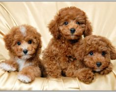 4 Dog Puppy Apricot Poodle Puppies Dogs Greeting Notecards/ Envelopes Set