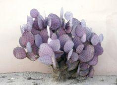 //Purple prickly pear cactus, is really pretty. Diy Garden, Garden Plants, Indoor Plants, House Plants, Sempervivum, Cactus Plante, Cactus Y Suculentas, Opuntia Cactus, All Things Purple