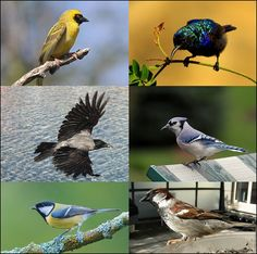 """Passerines-Clockwise from top right: Palestine Sunbird (Cinnyris osea), Bluejay (Cyanocitta cristata), House Sparrow (Passer domesticus), Great Tit (Parus major), Hooded Crow (Corvus cornix), Southern Masked Weaver (Ploceus velatus). Wikipedia.""  Google search: ""Passerine-bird order Passeriformes (more than half of all bird species)-distinguished by the arrangement of their toes, 3 pointing forward & 1 back, which facilitates perching. Wikipedia.""      [Image: ""Passerine - Wikipedia""]"