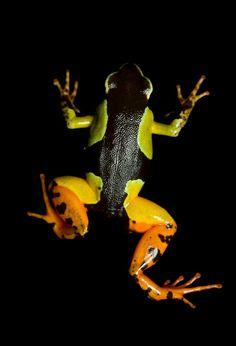 Vulnerable (IUCN) Madagascar painted frog (Mantella madagascariensis)