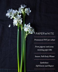 Everything you need to know about the fragrant, long-stemmed PAPERWHITES, the subject of today's Flower Glossary #flowers #flower #paperwhites #winter #weddings #flowerglossary