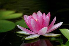 """""""Certains regardent la vase au fond de l'étang, d'autres contemplent la fleur de lotus à la surface de l'eau. Il s'agit d'un choix"""" Le Dalaï Lama"""