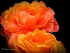 """Flower of the Day - July 22, 2012; """"Mirror in Orange"""", Portland Rose Gardens, Portland, Oregon. Copyrights belong to the photographer: Louise Edwards, L Photography, L Images."""