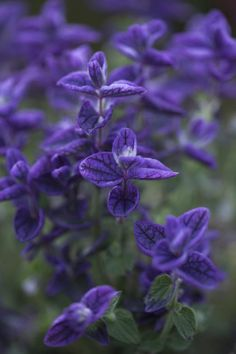 Salvia horminum 'Oxford Blue' Seeds £2.08 from Chiltern Seeds - Chiltern Seeds Secure Online Seed Catalogue and Shop