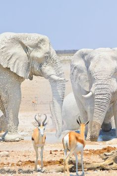 "Etosha National Park, Namibia, Africa - elephants coated in the white clay of the area appear to be ""white ghosts"""