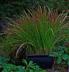 To limit its tenacious, rhizomatous, invasive nature it's kept in containers.Japanese blood grass (Imperata cylindrica 'Rubra', Zones 5-9).  Its sword-shaped leaves emerge green then deepen to a darker crimson in autumn.   Read more: http://www.finegardening.com/irvin-paulines-garden-fall-focus-grasses#ixzz4NMPuA3OB  Follow us: @finegardening on Twitter | FineGardeningMagazine on Facebook