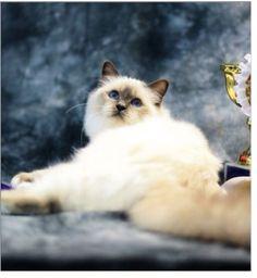 #sacredebirmanie Birman Cat, Great Love, Four Legged, Ottawa, Fur, Pets, Painting, Animals, Animales
