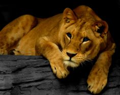 Lioness killed in freak cat fight at Dallas zoo/ This is so sad - rest in peace Johari. Dallas Zoo, Female Lion, Lion And Lioness, Go Greek, Exotic Cats, Cat Wallpaper, Beautiful Cats, Big Cats, Predator