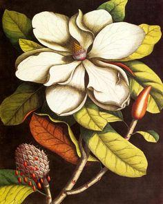 Vintage Magnolia No. 55 - Botanical Print                                                                                                                                                     More