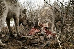 A couple of gray wolves, Canis lupus, feast on a mule deer carcass. Sawtooth Mountains, Idaho.