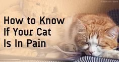 Pain in cats is hard to see because felines like to hide it, but it can be cured or avoided through several ways. http://healthypets.mercola.com/sites/healthypets/archive/2012/02/03/how-to-know-if-your-cat-is-in-pain-and-what-to-do-about-it.aspx