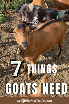 If you are thinking about getting goats or planning to bring home a couple soon, here are seven things that you will want to make sure you have ready for them when they arrive! #raisinggoats #goats_need Breeding Goats, Self Sufficient, Raising Goats, Baby Goats, Small Farm, Livestock, Homesteading, Sheep, Couple