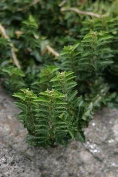 'Congesta' English ivy (Hedera helix 'Congesta',  USDA Hardiness Zones 5-11)