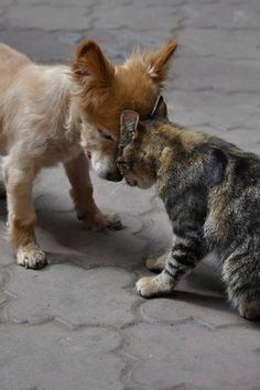 We think of cats and dogs as being locked in a pattern of mutual distrust and animosity, but it doesn't have to be that way. Here's proof that cats and dogs really can get along. Animals And Pets, Baby Animals, Funny Animals, Cute Animals, Amor Animal, Tier Fotos, Animals Beautiful, Animal Pictures, Bump Pictures