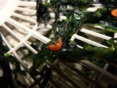 Ulva sea lettuce is one of the easiest edible sea weeds to harvest.