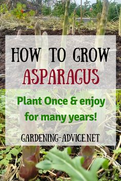 Growing Asparagus is easy and will reward you for many years. Learn how to best plant  asparagus, the different varieties and harvesting this delicious vegatable.