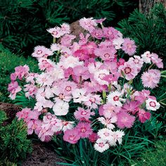 Dianthus plumarius 'Sweetness Mixed' - Perennial & Biennial Seeds - Thompson & Morgan