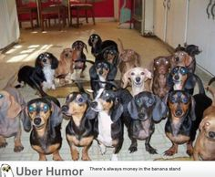 """""""I run a Dachshund rescue. I open a bag of treats and turn around to this staring back at me."""""""