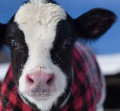 Cow in a flannel Cute Baby Cow, Baby Cows, Cute Cows, Baby Elephants, Farm Animals, Animals And Pets, Cute Animals, Wild Animals, Beautiful Creatures