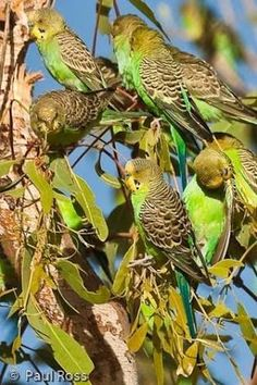 I remember our first camp outback when we awoke to hundreds of wild Budgies, an amazing sight. Pretty Birds, Love Birds, Beautiful Birds, Colorful Parrots, Colorful Birds, Wild Budgies, Reptiles, Australian Animals, Owl Bird