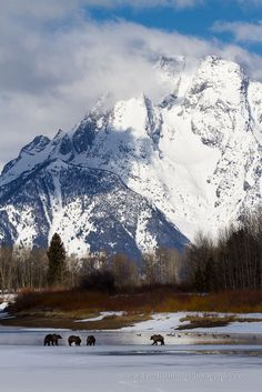 Grizzly Bears Along Oxbow Bend in winter, Grand Teton National Park, Wyoming Sure wish we would have seen some grizzlies. Two trips out there and no grizzlies. But we did see a black bear the last trip! Grand Teton National Park, Yellowstone National Park, Landscape Photography, Nature Photography, Travel Photography, Photos Voyages, Seen, Amazing Nature, Wyoming