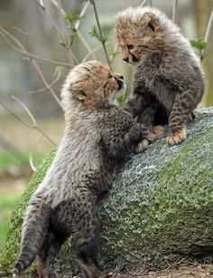 A collection of cute animals and stuff from around the web, they are all cute and they are all Wuvely Baby Animals Super Cute, Cute Baby Cats, Cute Animals, Beautiful Cats, Animals Beautiful, Big Cats, Cats And Kittens, Baby Cheetahs, Cheetah Cubs