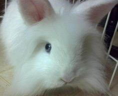 How handsome is Ezekiel? This lovely Lionhead is fixed, litter trained and ready for adoption! #animalrescue #adoptdontshop #bunnies