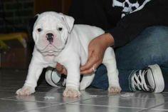 Olde English Bulldogge puppy www.oneofakindbulldogs.com