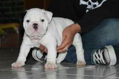Olde English Bulldogge puppy www.oneofakindbulldogs.com