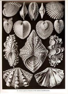 nature's tangles. Haeckel print