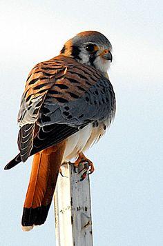 American Kestrel, Drawing Stuff, Birds Of Prey, Fauna, Raptors, Falcons, Bird Art, Kite, Eagles